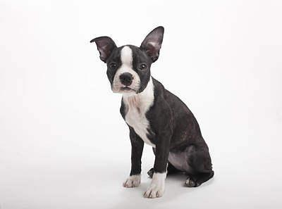 Y120817 Photograph - Boston Terrier Puppy On White Background by Chris Parsons