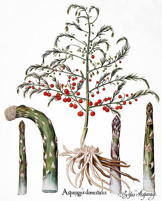 Plant Roots Photograph - Botany: Asparagus, 1613 by Granger