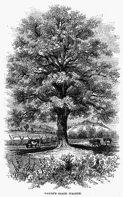 Black Walnut Photograph - Botany: Black Walnut Tree by Granger