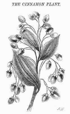 Botany: Cinnamon Plant Art Print by Granger