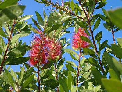 Photograph - Bottle Brush by Diane Ferguson