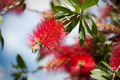 Bottle Brush Tree Art Print by Yurix Sardinelly