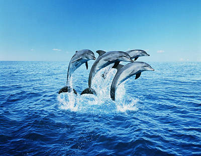 Bottle-nose Dolphins (tursiops Truncatus) Breaching Art Print by Steve Bloom