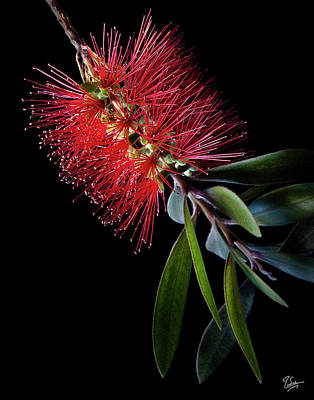 Photograph - Bottlebrush by Endre Balogh
