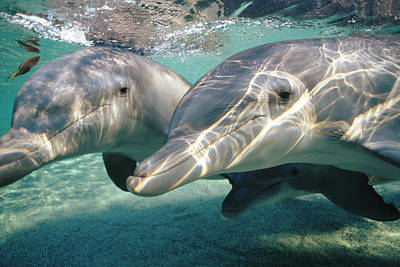 Photograph - Bottlenose Dolphin Underwater Pair by Flip Nicklin