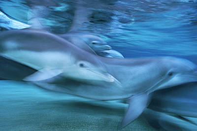 Photograph - Bottlenose Dolphins Swimming Hawaii by Flip Nicklin