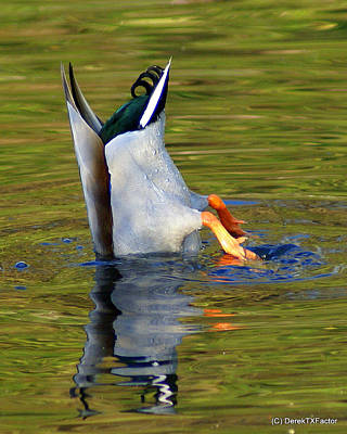 Photograph - Bottoms Up Mallard by DerekTXFactor Creative