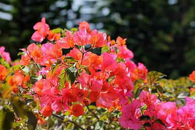 Photograph - Bougainvillea 'alabama Sunset' by Elizabeth  Doran