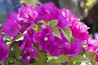 Bougainvillea Leaves Photograph - Bougainvillea Flowers by Dirk Wiersma