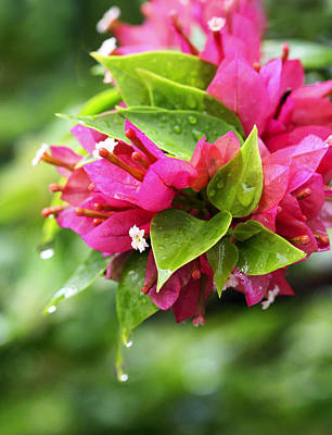 Rain Photograph - Bougainvillea by Marilyn Hunt