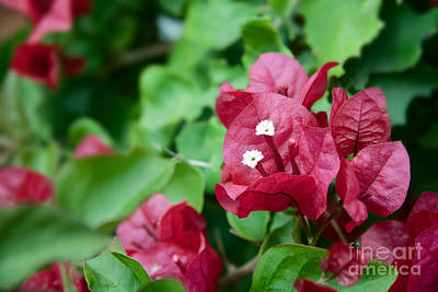 Photograph - Bougainvillea San Diego Vibrant Red Flowers Closeup  by Sherry  Curry