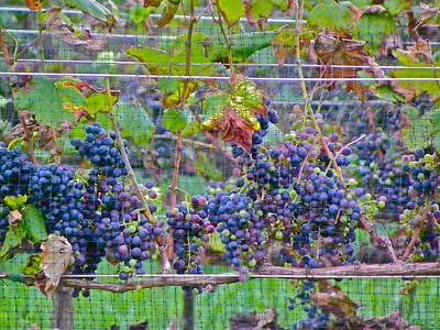 Photograph - Bountiful Grapes by Eve Spring