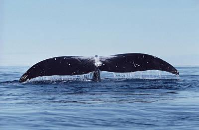 Baffin Island Photograph - Bowhead Whale Off Baffin Island Canada by Flip Nicklin