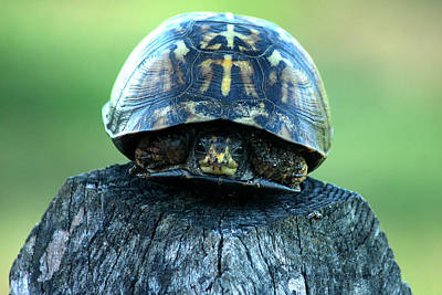 Photograph - Box Turtle by Emanuel Tanjala