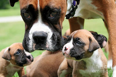 Boxer Mommy Watch Over Pups  Art Print by Renae Laughner