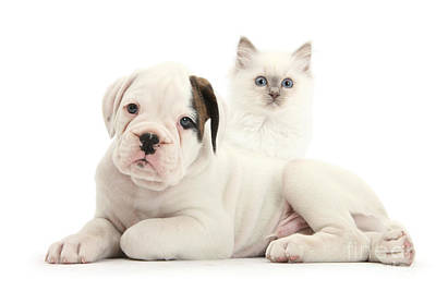Boxer Puppy And Blue-point Kitten Art Print by Mark Taylor