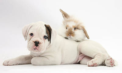 House Pet Photograph - Boxer Puppy And Young Fluffy Rabbit by Mark Taylor