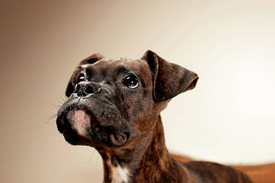 Colored Background Photograph - Boxer Puppy by Chad Latta