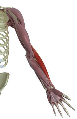 Biomedical Illustration Photograph - Brachioradialis by MedicalRF.com