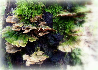 Photograph - Bracket Fungi by Cindy Wright