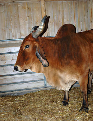 Barn Photograph - brahma Cow by LeeAnn McLaneGoetz McLaneGoetzStudioLLCcom