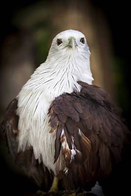 Photograph - Brahminy Kite by Zoe Ferrie