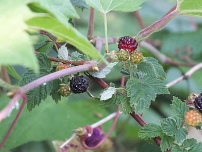 Photograph - Brambles by Peggy King