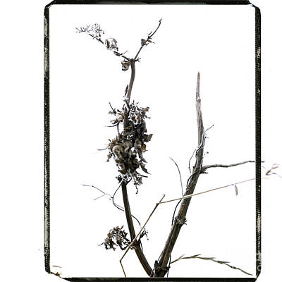 Branch Of Dried Out Flowers. Art Print