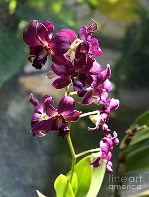 Violett Photograph - Branch Of Orchids by Christiane Schulze Art And Photography