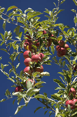 Branches Of An Apple Tree Print by Tim Laman