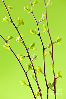 Royalty-Free and Rights-Managed Images - Branches with green spring leaves by Elena Elisseeva