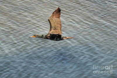 Photograph - Brandt's Cormorant In Flight by Eddie Yerkish