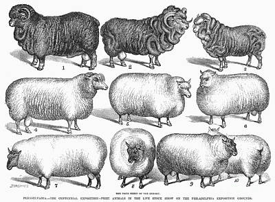Breeds Of Sheep, 1876 Art Print by Granger