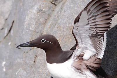 Machias Seal Island Photograph - Bridled Guillemot by Bruce J Robinson