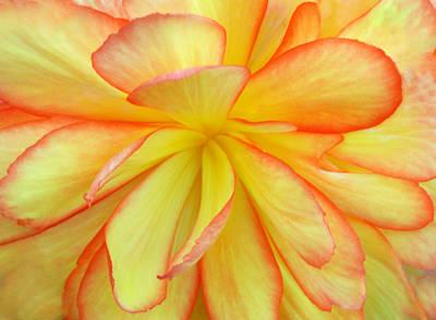 Bright Begonia Original