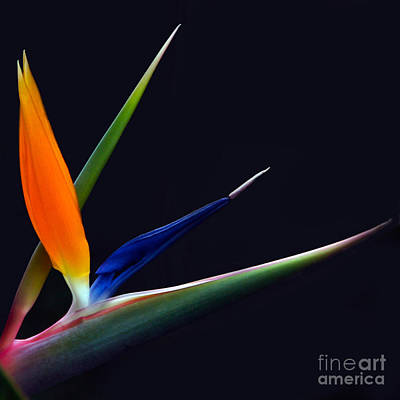 Photograph - Bright Bird Of Paradise Square Frame by Byron Varvarigos