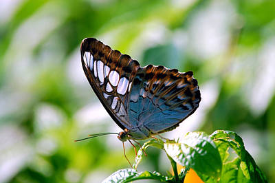 Photograph - Bright Blue Butterfly by Peggy Franz