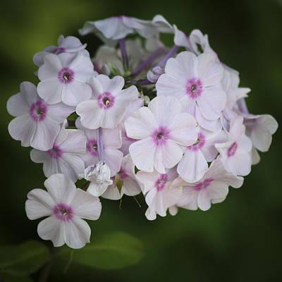 Phlox Paniculata Photograph - Bright Eyed Phlox Squared by Teresa Mucha