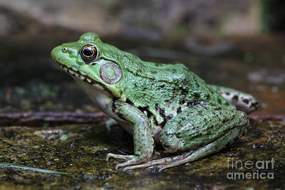 Photograph - Bright Green Bullfrog by Chris Hill