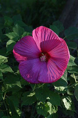 Photograph - Bright Hisbiscus Flower by David Frankel