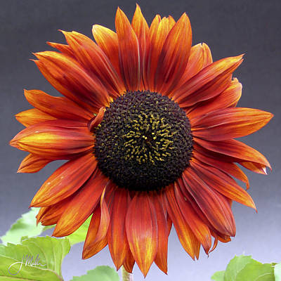 Bright Intense Sunflower Art Print by Joshua Miller