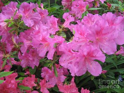 Photograph - Bright Pink Azalea by Nancy Patterson