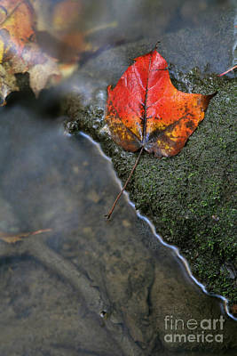 Bright Red Leaf Near A Stream Art Print by Chris Hill