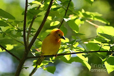 Bright Yellow Songbird Art Print by Christina A Pacillo