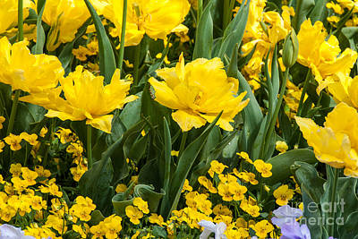 Photograph - Bright Yellow Tulips And Pansies by Fran Woods