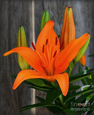 Photograph - Brillant Orange Lily by Patrick Witz