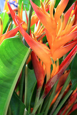 Photograph - Brilliant Heliconia by Karen Nicholson