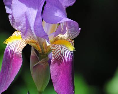 Photograph - Brilliant Purple Iris Flower II by Jai Johnson