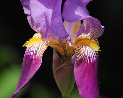 Photograph - Brilliant Purple Iris Flower by Jai Johnson