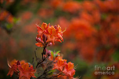 Rhodies Photograph - Brilliantly Rouge by Mike Reid